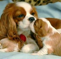 cavalier-mom-and-pup